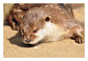 otter by photoflacky