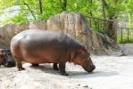 Zoo 25 Hippo by PirateLotus-Stock