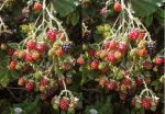 Stereograph - Wild Berries by alanbecker