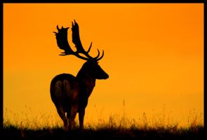 Lone stag by saffi9