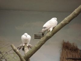Doves in zoo by Lukotus