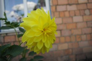 Dahlias1 by Tumana-stock