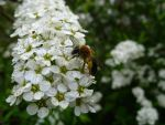 Bee on a Spiraea by Cormocodran15