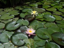 Water Lillies by sketchydreamerstock