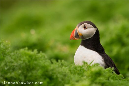 Puffin by Alannah-Hawker