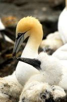 Nesting Gannets by Shadow-and-Flame-86
