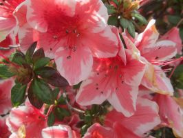 Rhododendron 1 by FuriarossaAndMimma