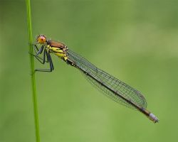 .Damselfly. by zeenon