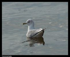 Seagull by Dominick-AR