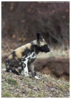 African Wild Dog - Pups 006 by ShineOverShadow