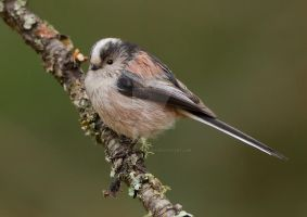 Sweet tweet - Long-tailed tit by Jamie-MacArthur