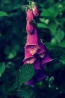 The Flower of Magherally by CleaLlyfr