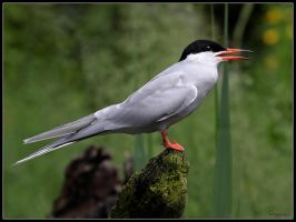 Arctic Tern by cycoze