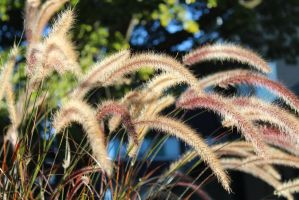 Fountaingrass (Pennisetum setaceum) by minamiko