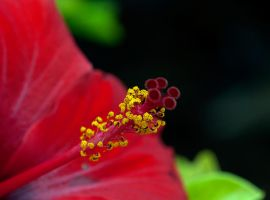 Hibiscus by Gaspode5