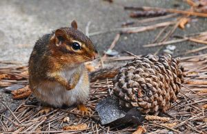 Chippy and the Pine cone by Tailgun2009