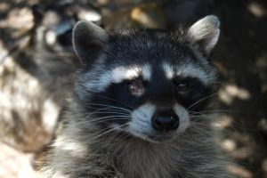 Racoon by DecoYserbia