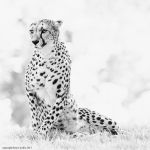 Cheetah Forever by clippercarrillo