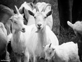 Goats by andreareno