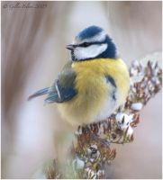 Blue Tit by Swordtemper