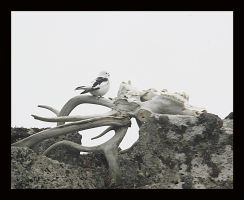 Snow Bunting On Skull by swashbuckler