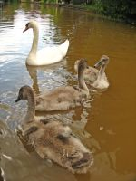 swans by smevstock