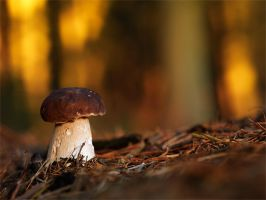 boletus in last light by mescamesh