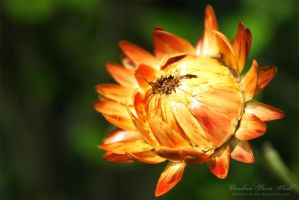 A flower bud by pixellorac