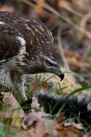 Red Tail Hawk 8 by bovey-photo