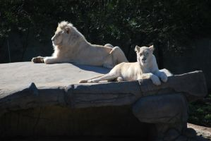 White lion and lioness by Primal-Fury