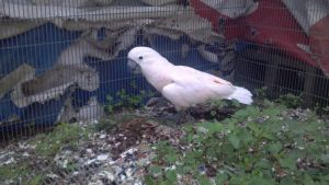 Nemo the Moluccan Cockatoo 1 by CalicoWoolfe