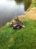 A duck and its ducklings by Chrispy248