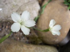Little White flowers by evanna11