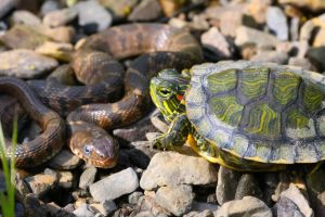 Red-eared slider and Nerodia (water snake) by DoctorPhrog