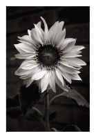 Sunflower BW by kiora