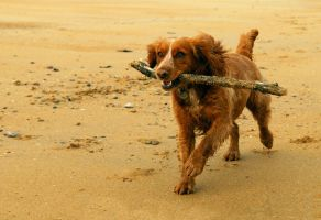 Spaniel and Stick by Shadow-and-Flame-86