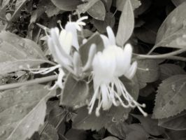 Honeysuckle in Black and White by Bizee1