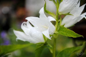 White flowers by Waaon