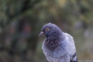 Pigeon by AndreaMetallurgico