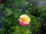 Rose of Peace by GUDRUN355