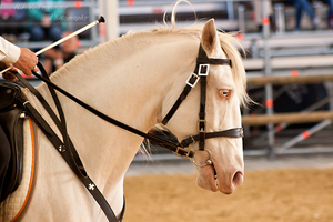 Cremello Lusitano_4 by CalyHoney
