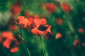 Poppies by Rizone