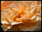 Full Blown Rose by Mogrianne
