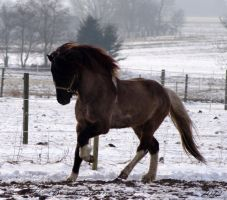 Icelandic Stallion by RBSpictures