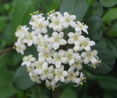 white flowers 04 by CotyStock