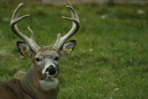 White-Tailed Deer 9 by CastleGraphics