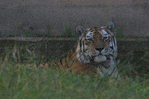 Amur Tiger by Arctictouch