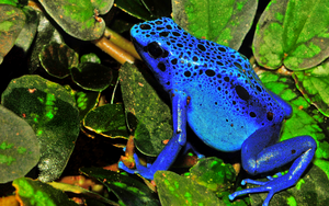Wallpaper Frog Azureus by CaHilART