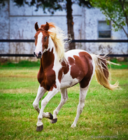 chestnut tobiano paint stallion by venomxbaby