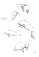 Manatee Sketches by AliceParkes